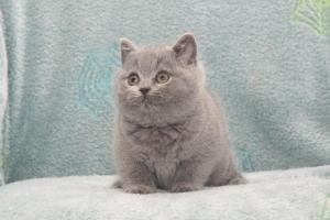 Koty Brytyjskie Niebieskie Buźka Niebieskie Misie (16)