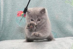Koty Brytyjskie Niebieskie Buźka Niebieskie Misie (17)