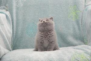 Koty Brytyjskie Niebieskie Buźka Niebieskie Misie (19)