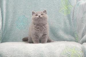 Koty Brytyjskie Niebieskie Buźka Niebieskie Misie (2)