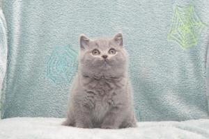Koty Brytyjskie Niebieskie Buźka Niebieskie Misie (20)