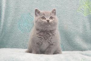 Koty Brytyjskie Niebieskie Buźka Niebieskie Misie (21)