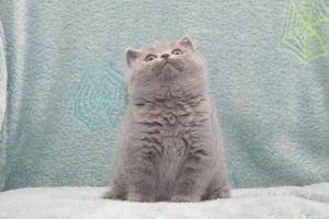 Koty Brytyjskie Niebieskie Buźka Niebieskie Misie (22)