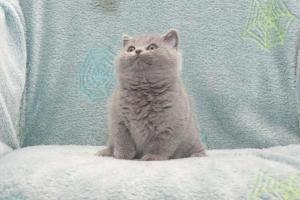 Koty Brytyjskie Niebieskie Buźka Niebieskie Misie (24)