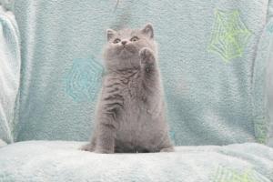 Koty Brytyjskie Niebieskie Buźka Niebieskie Misie (25)