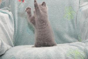 Koty Brytyjskie Niebieskie Buźka Niebieskie Misie (29)