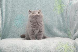 Koty Brytyjskie Niebieskie Buźka Niebieskie Misie (3)