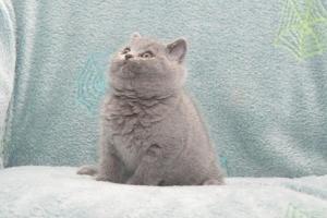 Koty Brytyjskie Niebieskie Buźka Niebieskie Misie (31)