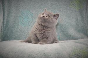 Koty Brytyjskie Niebieskie Buźka Niebieskie Misie (34)