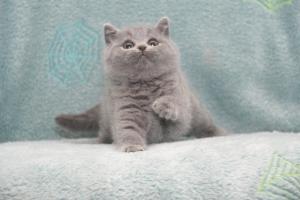 Koty Brytyjskie Niebieskie Buźka Niebieskie Misie (4)
