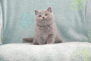 Koty Brytyjskie Niebieskie Buźka Niebieskie Misie (5)