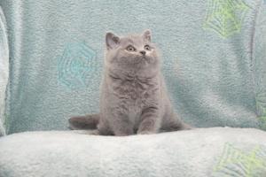 Koty Brytyjskie Niebieskie Buźka Niebieskie Misie (6)
