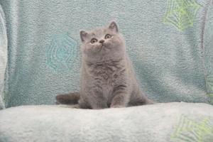 Koty Brytyjskie Niebieskie Buźka Niebieskie Misie (7)