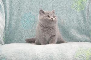 Koty Brytyjskie Niebieskie Buźka Niebieskie Misie (8)