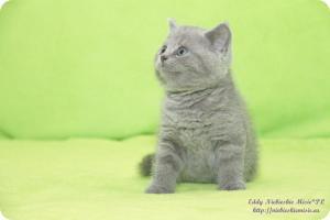 Eddy Niebieskie Misie*PL Hodowla kotów Brytyjskich