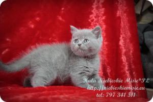 Kala Niebieskie Misie-koty brytyjskie (4)