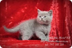 Kala Niebieskie Misie-koty brytyjskie (5)