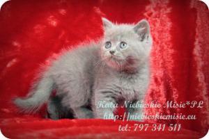 Kala Niebieskie Misie-koty brytyjskie (6)
