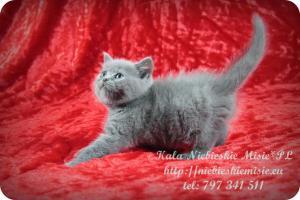 Kala Niebieskie Misie-koty brytyjskie (1)