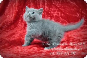 Kala Niebieskie Misie-koty brytyjskie (2)