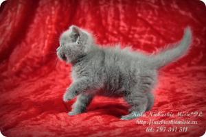 Kala Niebieskie Misie-koty brytyjskie (3)