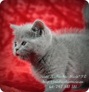Kato Niebieskie Misie-koty brytyjskie (4)