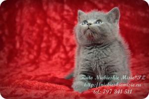 Kato Niebieskie Misie-koty brytyjskie (5)