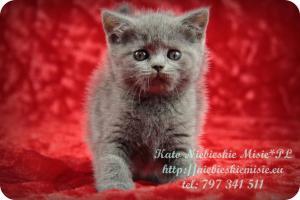 Kato Niebieskie Misie-koty brytyjskie (7)