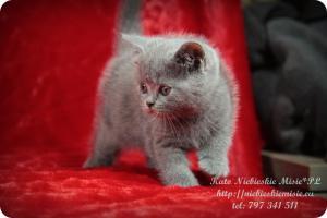 Kato Niebieskie Misie-koty brytyjskie (1)
