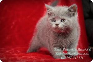 Kato Niebieskie Misie-koty brytyjskie (2)