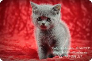 Kato Niebieskie Misie-koty brytyjskie (8)