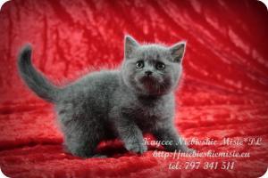 Kaycee Niebieskie Misie-koty brytyjskie (1)