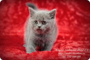 Kaycee Niebieskie Misie-koty brytyjskie (10)