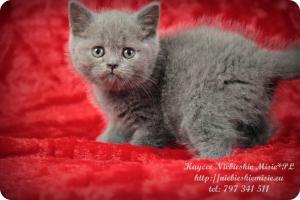 Kaycee Niebieskie Misie-koty brytyjskie (11)