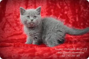 Kaycee Niebieskie Misie-koty brytyjskie (14)