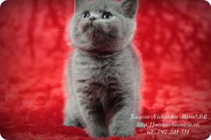 Kaycee Niebieskie Misie-koty brytyjskie (16)