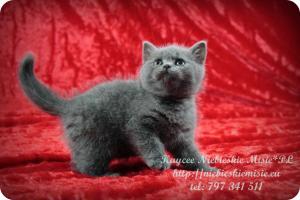 Kaycee Niebieskie Misie-koty brytyjskie (2)
