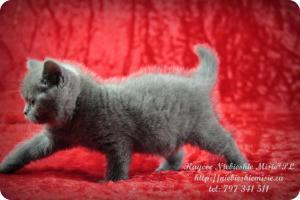 Kaycee Niebieskie Misie-koty brytyjskie (20)