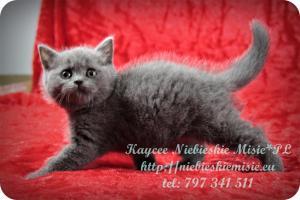 Kaycee Niebieskie Misie-koty brytyjskie (21)