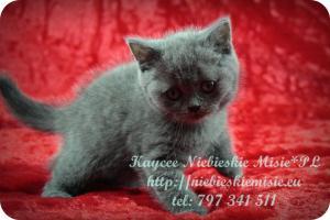 Kaycee Niebieskie Misie-koty brytyjskie (6)