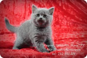 Kaycee Niebieskie Misie-koty brytyjskie (7)