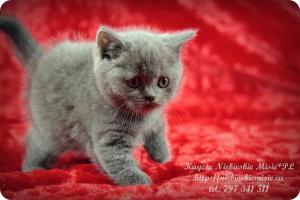 Kaycee Niebieskie Misie-koty brytyjskie (8)