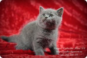 Kaycee Niebieskie Misie-koty brytyjskie (9)