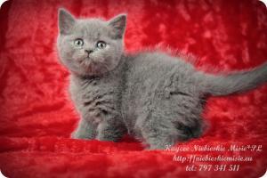 Kaycee Niebieskie Misie-koty brytyjskie (12)