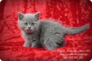 Kaycee Niebieskie Misie-koty brytyjskie (13)