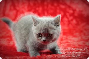 Kaycee Niebieskie Misie-koty brytyjskie (15)