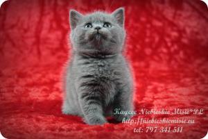Kaycee Niebieskie Misie-koty brytyjskie (18)