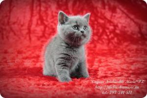 Kaycee Niebieskie Misie-koty brytyjskie (19)