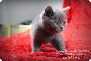Kaycee Niebieskie Misie-koty brytyjskie (22)