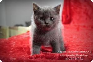 Kaycee Niebieskie Misie-koty brytyjskie (23)
